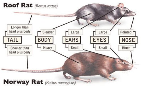 Wonderful Norway Rat And House Mouse